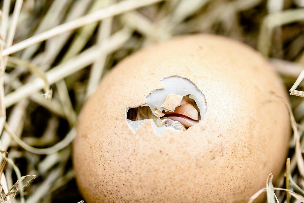 卵にヒビを入れて少しずつヒヨコが外に出てくる姿